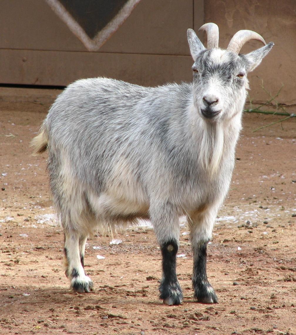 petite biquette angora, chèvre à laine mohair
