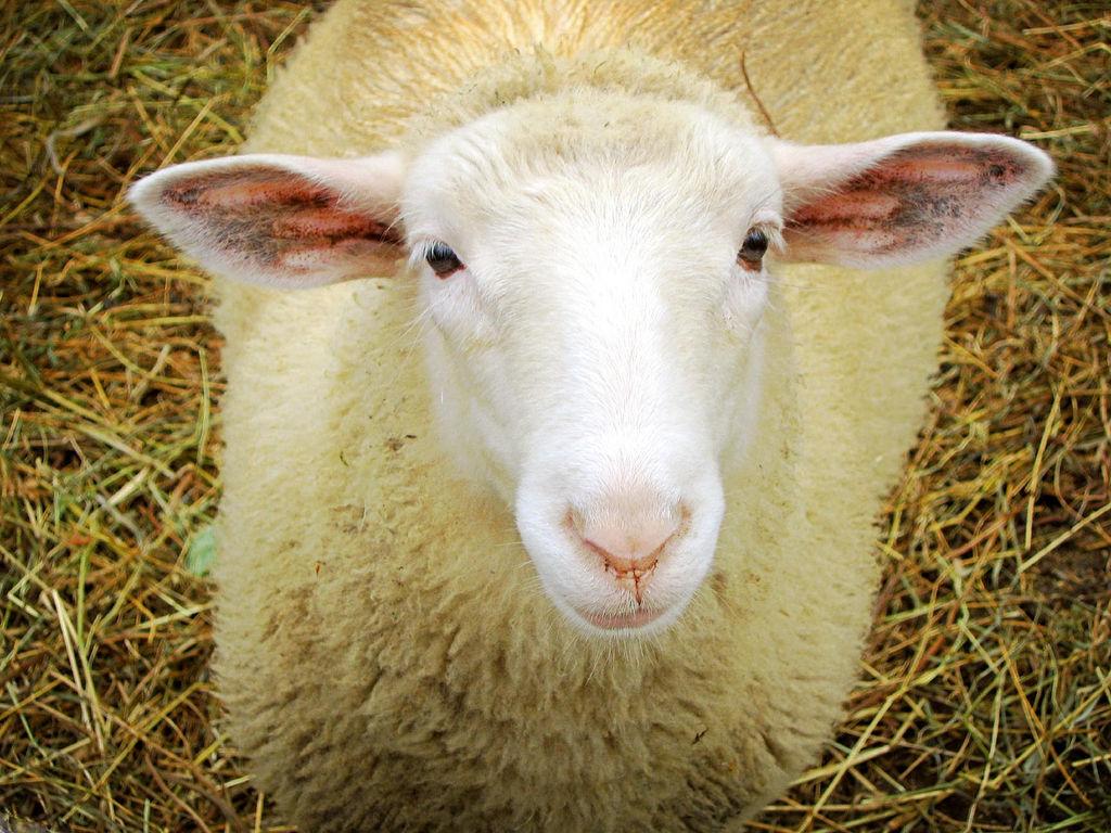 Sympathique mouton dans la paille prêt à être tondu pour vous puissiez tricoter facilement