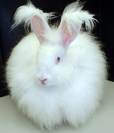 Magnifique petit lapin angora blanc. Nous ne distribuons pas de laine de lapin angora pour des raisons éthiques sur mespelotes.comcar il est aujourd'hui très difficile de se procurer une laine issue d'un élevage respectueux.